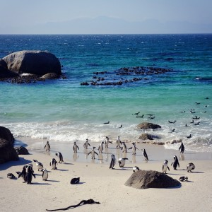 Day 59– South Africa – Cape Town – African penguins going for a swim into the ocean in Boulders Beach, a natural protected area.
