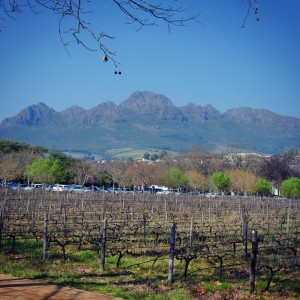 Day 60 – South Africa – Stellenbosch – The South African vineyards (Shiraz, Cabernet Sauvignon ... and many more) - dry at this season of the year - in the country side, 50 km away from Cape Town.