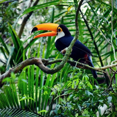 Day 66– Brazil – Iguazu Falls – A magnificent toucan hanging in the trees, just next to the waterfalls.