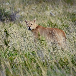 Day 171 – Chile – Torres del Paine – Second day on the Torres del Paine trek was very special since we could spot a Mountain Lion… A Puma!